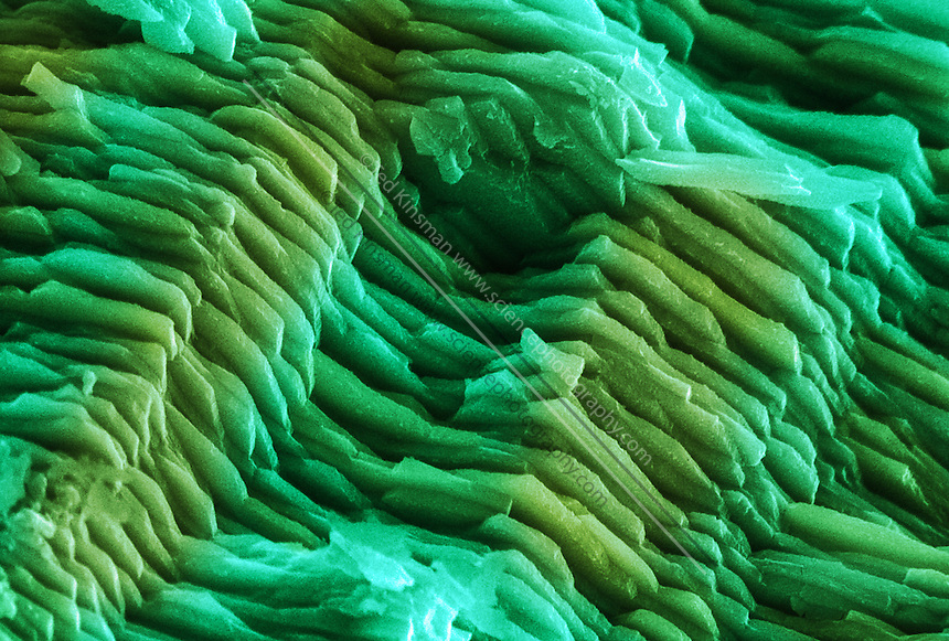 Fragment of an Abalone shell; color enhanced scanning electron micrograph (SEM) of a section through an abalone (Haliotis sp.) shell. The shell is composed of layers of overlapping platelets of calcium carbonate crystals, or aragonite,  Between the layers are thin sheets of protein (not seen). This structure makes the shell much stronger than the materials would be in any other arrangement.  Abalones are edible mollusks found in warm seas. The thin layers of shell reflect light using the wave nature of light.  Each thin layer reflects a particular wavelength – together the layers reflect wavelengths of light that constructively interfere to create bright greens and blues. Magnification: x1000 when printed at 10 cm wide.