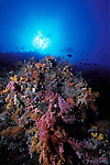Divers drift above a wall of soft corals, Republic of Palau, Micronesia.