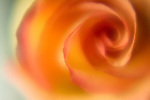 close-up of an orange /yellow rose