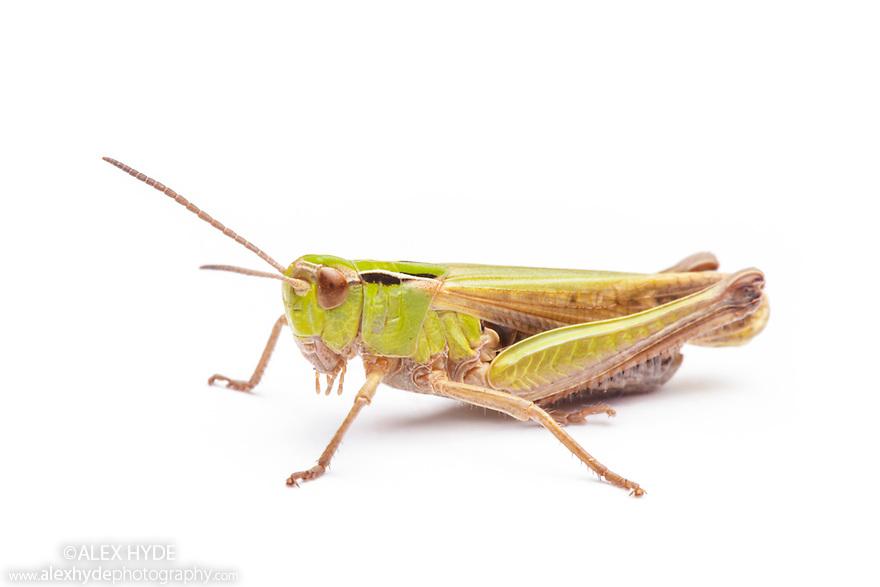Common Green Grasshopper (Omocestus viridulus) Peak District National Park, Derbyshire, UK. June.