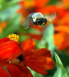 A Bee buzzing among flowers at the gardens of the Veterans Memorial in Eisenhower Park in East Meadow on October 1, 2007. Photo by Jim Peppler. Copyright Jim Peppler/2007.