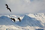 Bald eagles in flight in Homer, Alaska.