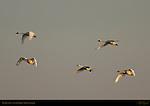 Tundra Swans, Sunset Flight, Whistling Swan, Lodi, California