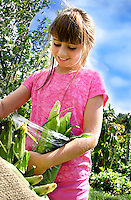 Photo of a young girl choosing corn, standing in a rural setting against a blue sky at Everdale organic farm near Toronto, Canada. Her family is a member of Everdale's  CSA or community supported agriculture.