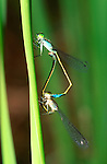 Blue-tailed damselflies, Ischnura elegans, mating