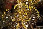 Yellow Lacy scorpionfish (Rhinopias aphanes).