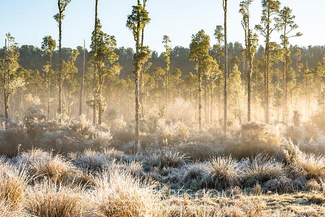 Kahikatea grove near Lake Wahapo at sunrise, Westland Tai Poutini National Park, West Coast, UNESCO World Heritage Area, New Zealand, NZ