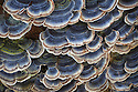Turkeytail fungus {Trametes / Coriolus versicolor} growing on a dead alder tree stump. Nottingham, UK. February.