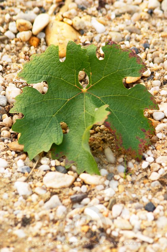 Vine leaf. Chateau Malartic Lagraviere, Pessac Leognan, Graves, Bordeaux, France