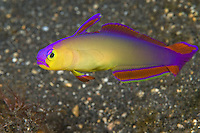 A Purple Dart Goby, Nemateleotris decora, hovers near its burrow, ready to dive out of sight at the first hint of danger. Barren Island, Andaman Islands, Andaman Sea, India