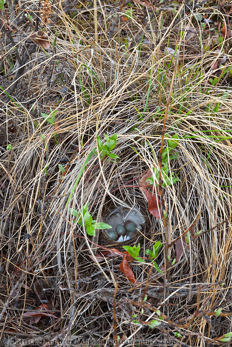American tree sparrow nest, National Petroleum Reserve, Alaska.