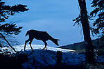 Deer silhouetted along ridge on Hurricane Ridge on the Olympic Penninsula Washington State USA