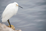 Ding Darling National Wildlife Refuge, Sanibel Island, Florida; a Snowy Egret (Egretta thula) bird standing at the water's edge, fishing for food © Matthew Meier Photography, matthewmeierphoto.com All Rights Reserved