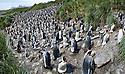 King Penguin (Aptenodytes patagonicus) breeding colony. Salisbury Plain, South Georgia, South Atlantic. (digitally stitched image)