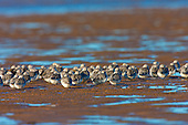 Sanderling, (Calidris alba), adults in winter plumage huddled and resting. Birds are huddled together on a very windy day. Resting from foraging for the last few hours as the tide continues to go out. A very 'high' spring tide had caused the tide to go out much further than previous recent records of spring tides in about 10 years. So there was new ground and abundant food for the birds to forage in. The Sanderling has no hind toe - giving it a distinctive running action, rather like a wind up toy, as it darts away from incoming waves on the waters edge.
