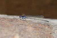 338680007 a wild male tezpi dancer argia tezpi perches on a rock in a small stream in sabino canyon pinal county arizona