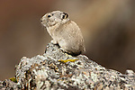 Collared pika, Denali National Park, Alaska, USA