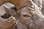 huge bighorn ram close up on eye face horn