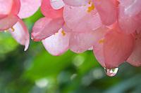 Begonia blossoms.Virgin Islands