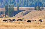 Bison Herd, Lamar Valley, Yellowstone National Park, Wyoming