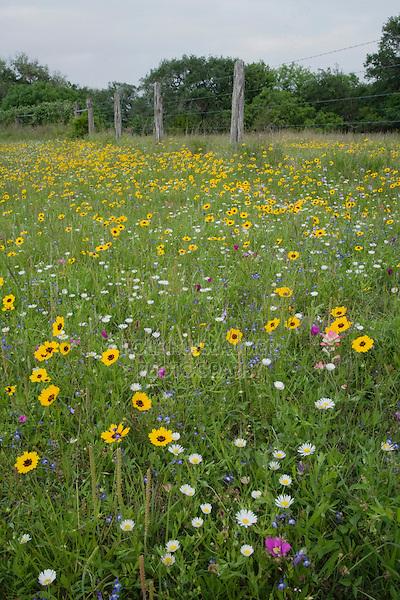 Wildflower field, Sinton, Corpus Christi, Coastal Bend, Texas, USA