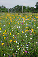 Wildflower field, Sinton, Corpus Christi, Coastal Bend, Texas, USA