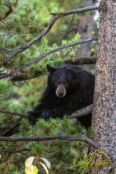 Black bear relaxing in a tree inGrand Teton National Park