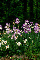 Purple Iris and Oxeye Dasies bloom in front of woods, May Missouri