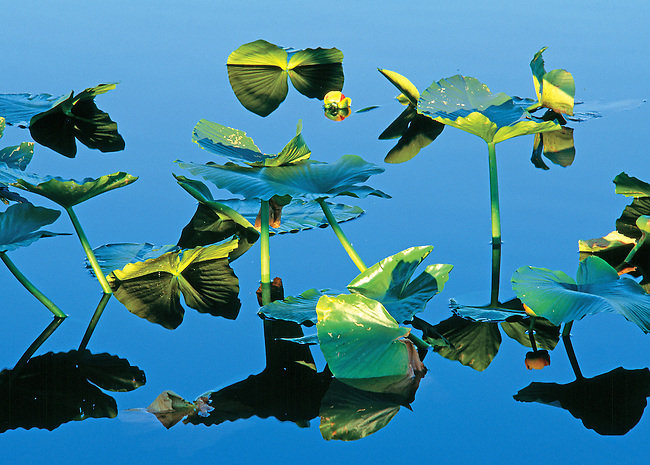 Lily pad design in pond