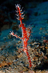 A colorful Ornate Ghostpipefish (Solenostomus paradoxus) swims in the waters of Kimbe Bay off New Britain Island, Papua New Guinea.