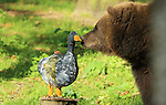 Foto: VidiPhoto<br /> <br /> RHENEN - Voor de beren in het Berenbos van Ouwehands Dierenpark in Rhenen was het woensdag feest. Om het natuurlijk gedrag van de dieren te stimuleren kregen ze haas, konijn en fazant van papier mach&eacute;, gemaakt door kinderen van de Kinderen Wageningen. De papieren dieren waren versierd met honing en nootjes. Het was voor het eerst dat de beren van Ouwehands met deze vorm van gedragsverrijking werden geconfronteerd. Al eerder gebeurde dat met de witte leeuwen en tijgers van het park.