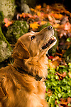 Golden retriever looking up at a squirrel