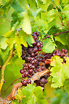 Pinot Noir grapes growing in a vineyard in Hood River, Oregon