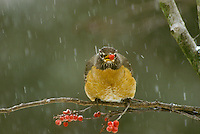 Robin, Turdus migratorius, perched on branch with red holly berries eating a berry in falling snow