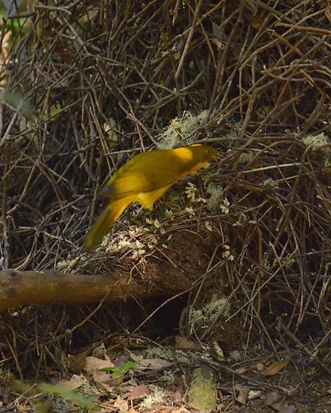 Golden Bower Bird Arranging Bower<br /> Wet Tropics WHA<br /> FNQ