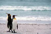 King penguins survey the surf before hunting off of a rookery on the Falkland Islands.