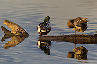 578380014 a wild male or drake and a female northern shoveler anas clypeata preen in a pond at colusa national wildlife refuge califonia