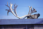 Caribou Head & Antlers Drying On Roof