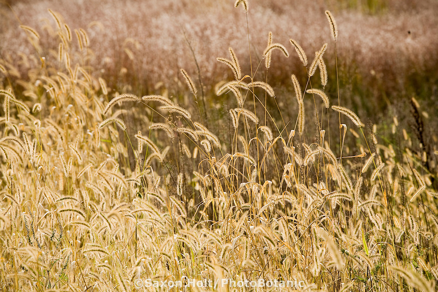 Setaria glauca, or S. lutescens (yellow foxtail grass) backlit flower stalks in meadow field at Neil Diboll Garden Wisconsin, Prairie Nursery