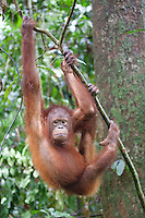 Young Bornean Orangutan, Pongo pygmaeus morio, hanging from a branch at the Orang Utan Sanctuary Sepilok, Sabah, Borneo
