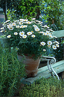 A terracotta pot filled with daisies on an old painted bench