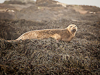 Harbor Seal lying on small island off coast of Machias Seal Island, Maine