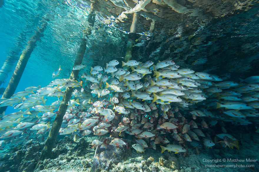 Fakarava Atoll, Tuamotu Archipelago, French Polynesia; an aggregation of onespot and humpback snapper fish swimming under the pier at Tetamanu Village
