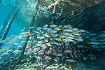 Fakarava Atoll, Tuamotu Archipelago, French Polynesia; an aggregation of onespot and humpback snapper fish swimming under the pier at Tetamanu Village