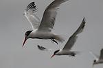 Terns in Moss Landing, CA