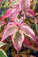 Cornus kousa 'Summer Gold' foliage Korean Dogwood tree variegated