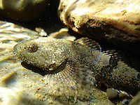 Torrent Sculpin, Underwater