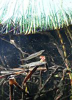 Northern Pike (newborn/fry)<br /> <br /> Paul Vecsei/Engbretson Underwater Photography