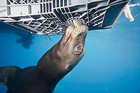 California Sea Lion (Zalophus californianus) trying to feed from a bait, Guadelupe island, Mexico