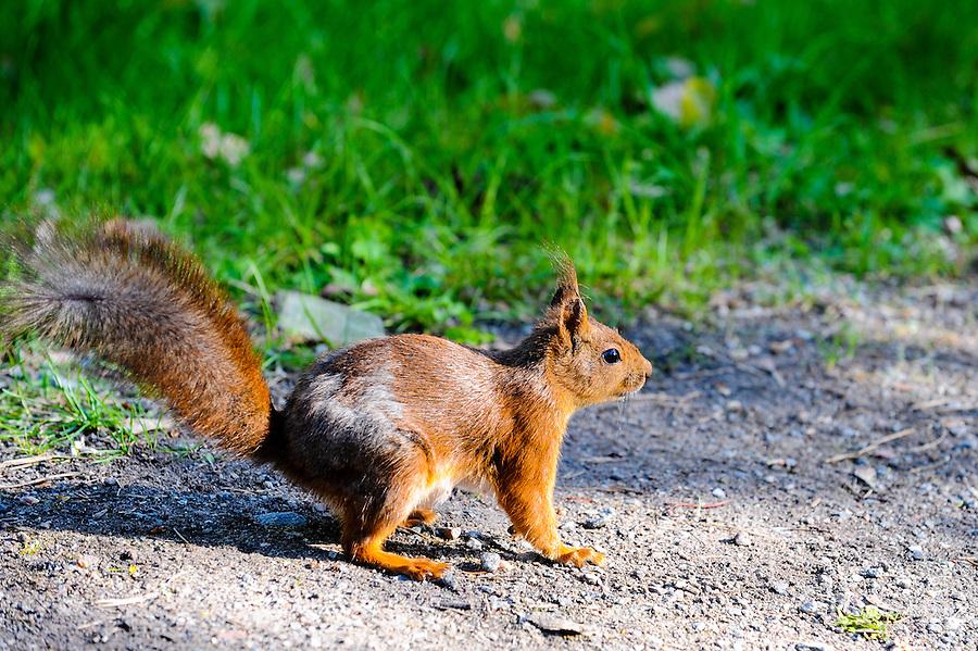 Sweden, Stockholm, Skansen zoo. Squirrel.